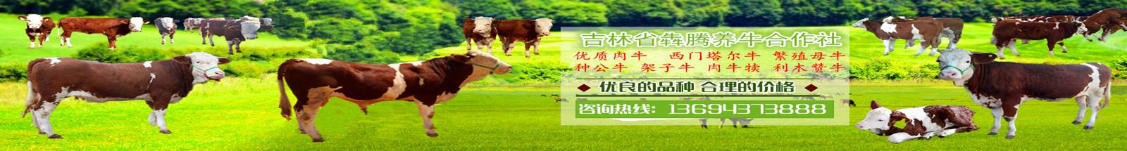 肉牛|西门塔尔牛|肉牛价格|牛犊|牛犊价格|肉牛养殖|吉林肉牛|东北肉牛|母牛价