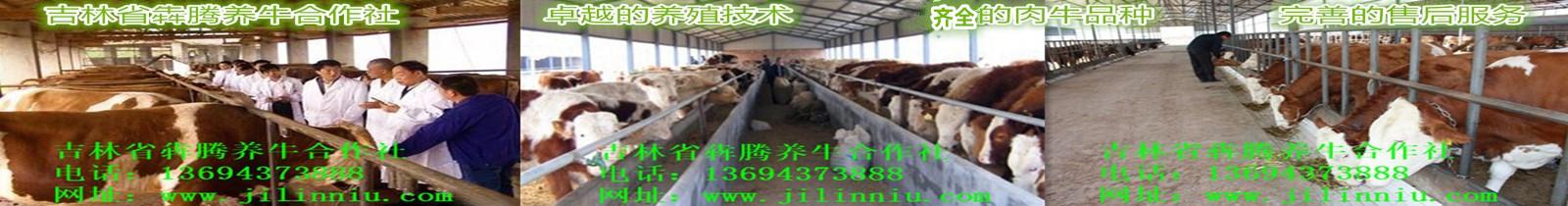 3肉牛|西门塔尔牛|肉牛价格|牛犊|牛犊价格|肉牛养殖|吉林肉牛|东北肉牛|母牛