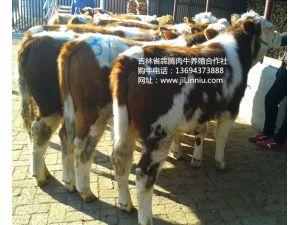  肉牛 西门塔尔牛 肉牛价格 牛犊 牛犊价格 肉牛养殖 吉林肉牛 东北肉牛 母牛价格 西门塔尔牛价格