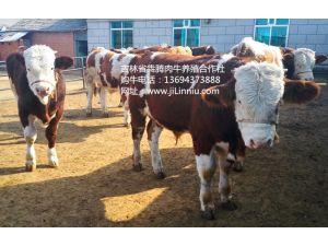 育肥用的牛