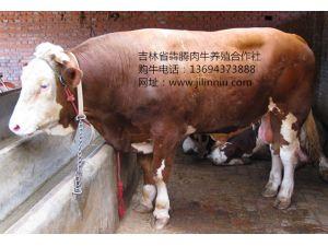 育肥过的公牛