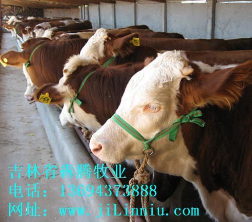 肉牛 西门塔尔牛 肉牛价格 牛犊 牛犊价格 肉牛养殖 吉林肉牛 东北肉牛 母牛价格 西门塔尔牛价格 吉林省犇腾牧业,吉林省犇腾养牛合作社